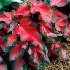 Caladium Plant Database Red Wagon Plants