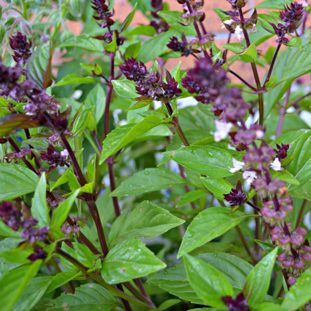 cinnamon-basil-palm-beach-medicinal-herbs 1.jpg