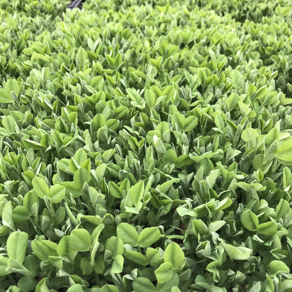 Pea Shoots, ready to snip and eat.