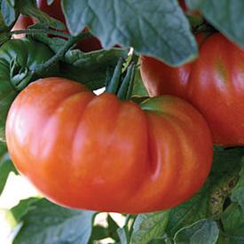 Tomatoes -