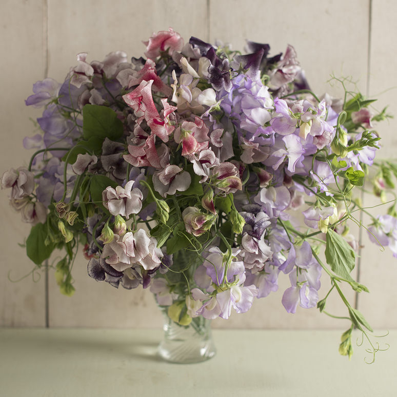 Sweet Pea Spencer Formula Mix