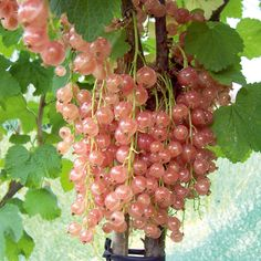 Champagne Currant