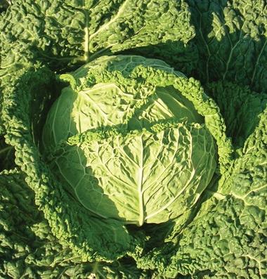 cabbage savoy famosa.jpg