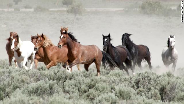 """Divji konji, ki jih je """"preveč""""."""