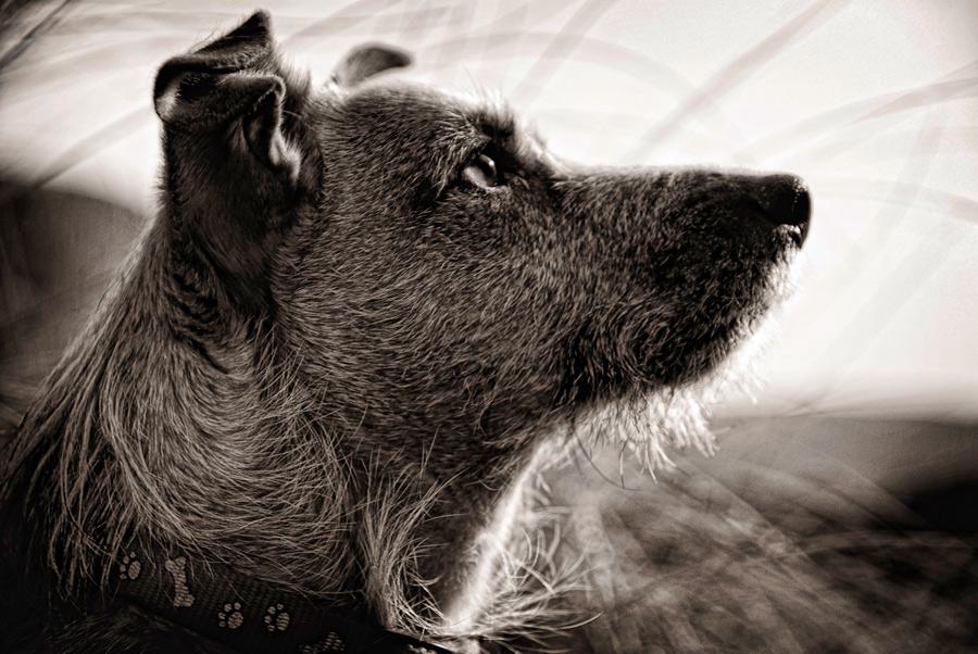 Alfie by Geoff McGrath - Pet Portrait - 02