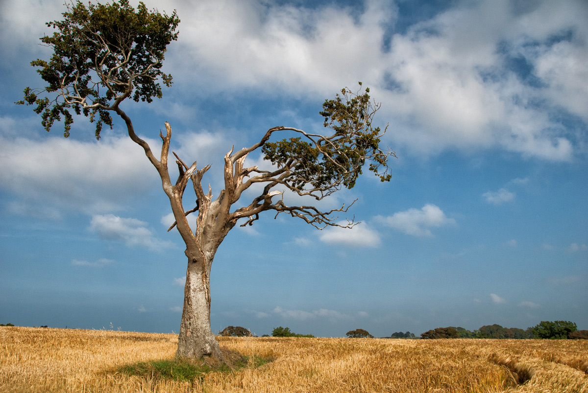 In the Barley - Rihannas Tree - Fine Art Tree Photography