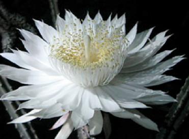 Kotoka Suzuki. Epiphyllum Oxypetalum (Queen of the Night)
