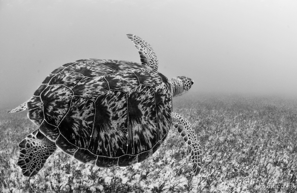 likka-turtle-bw-3-2.jpg