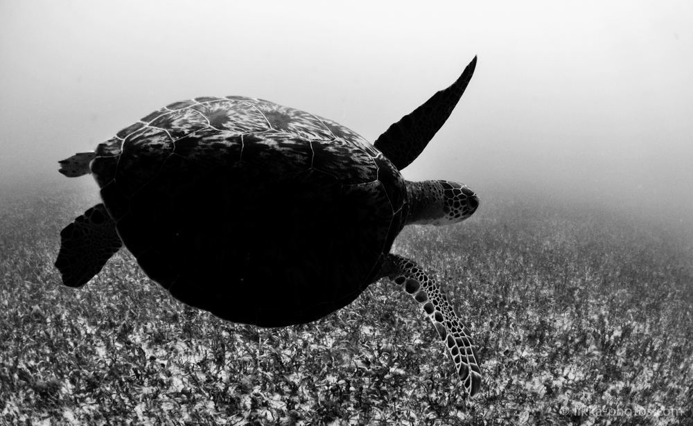 likka-turtle-bw-4-2.jpg