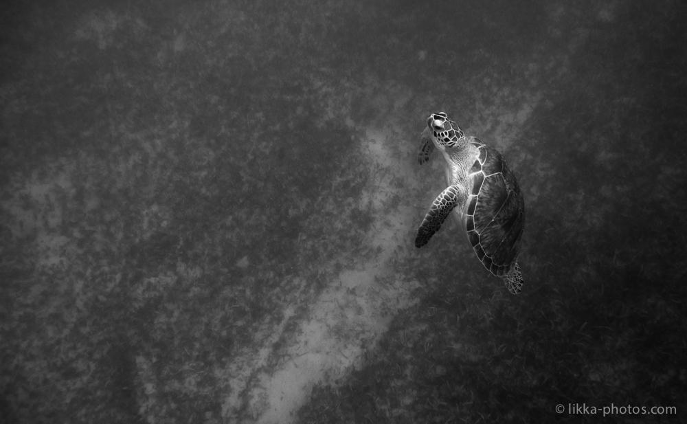 likka-turtle-bw-8.jpg