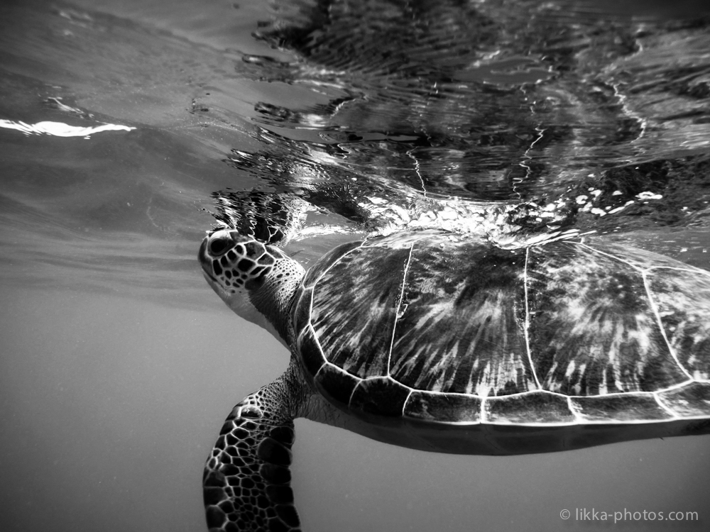 likka-turtle-bw-11.jpg