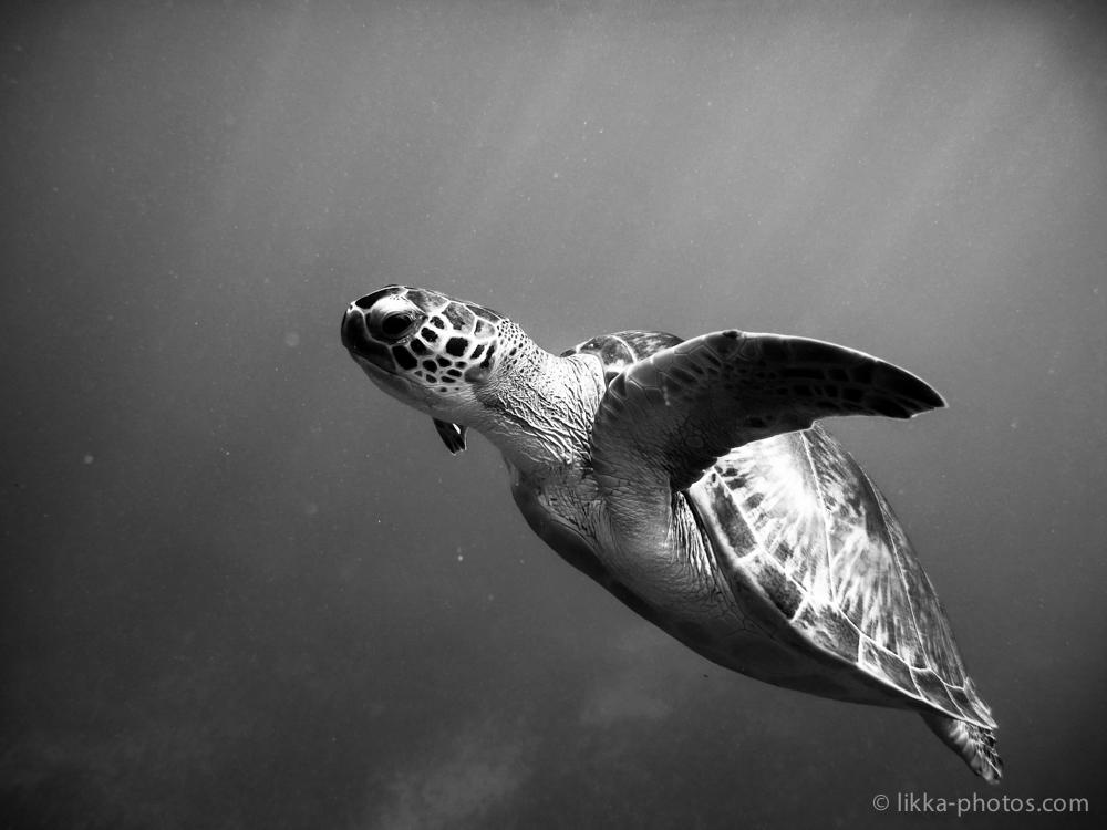 likka-turtle-bw-13.jpg