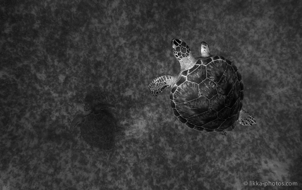 likka-turtle-bw-16.jpg