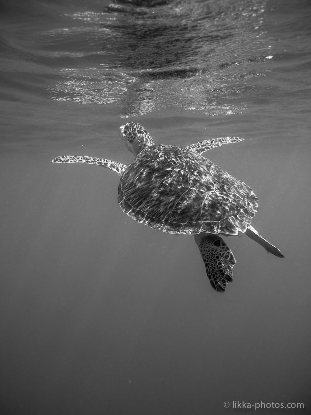 likka-turtle-bw-28.jpg