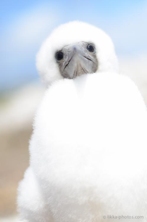 Boobies-Tropic-Bird-2-2.jpg