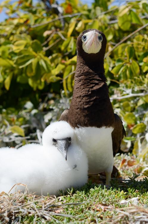 Boobies-Tropic-Bird-4-2.jpg