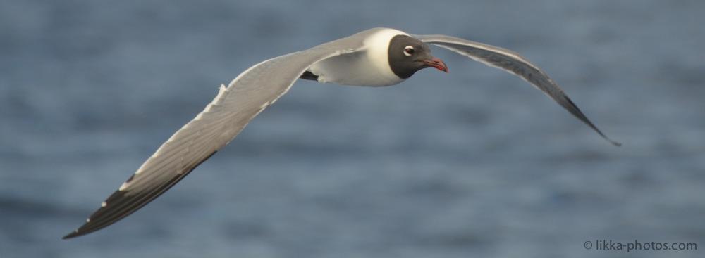 Seagull-Caribbean-01.jpg