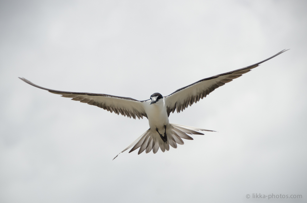 Sooty-Tern-Caribbean-03.jpg