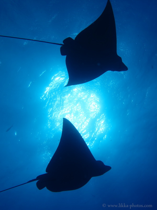 Eagle Ray - Ro Ro - Sint Maarten Dive