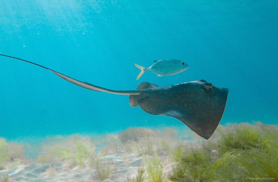sting ray - st martin - snorkeling