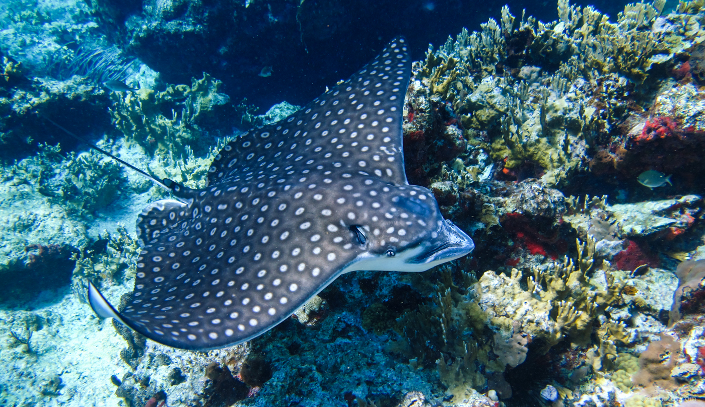 eagle ray - snorkeling - anguilla - caribbean - travel