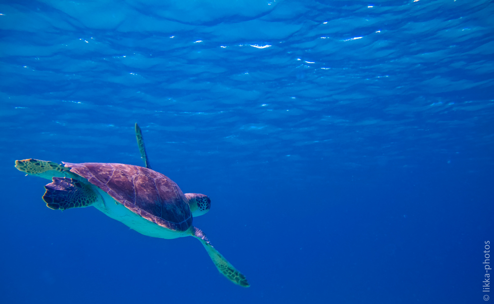 Turtle - swimming - surface - blue ocean