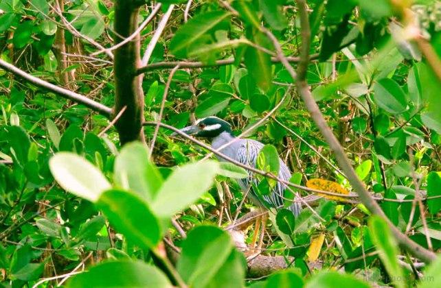 Birds-Caribbean-17.jpg