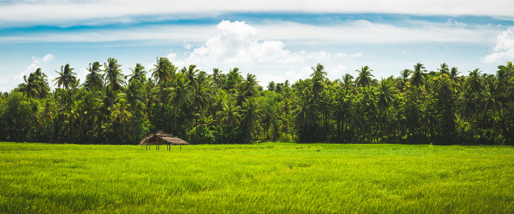 Rice Paddy | Sri Lanka | 2015