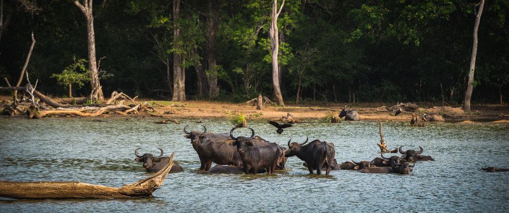 Wild Water Buffalo | Sri Lanka | 2015