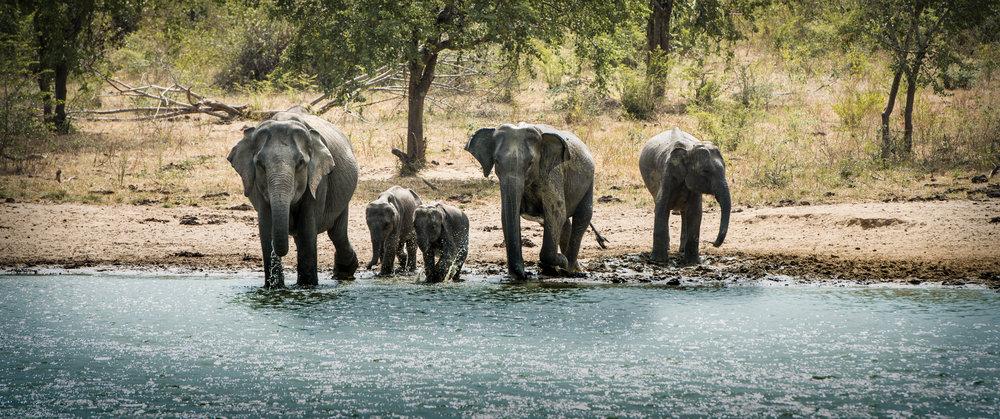 Wild Elephant Family | Sri Lanka | 2015