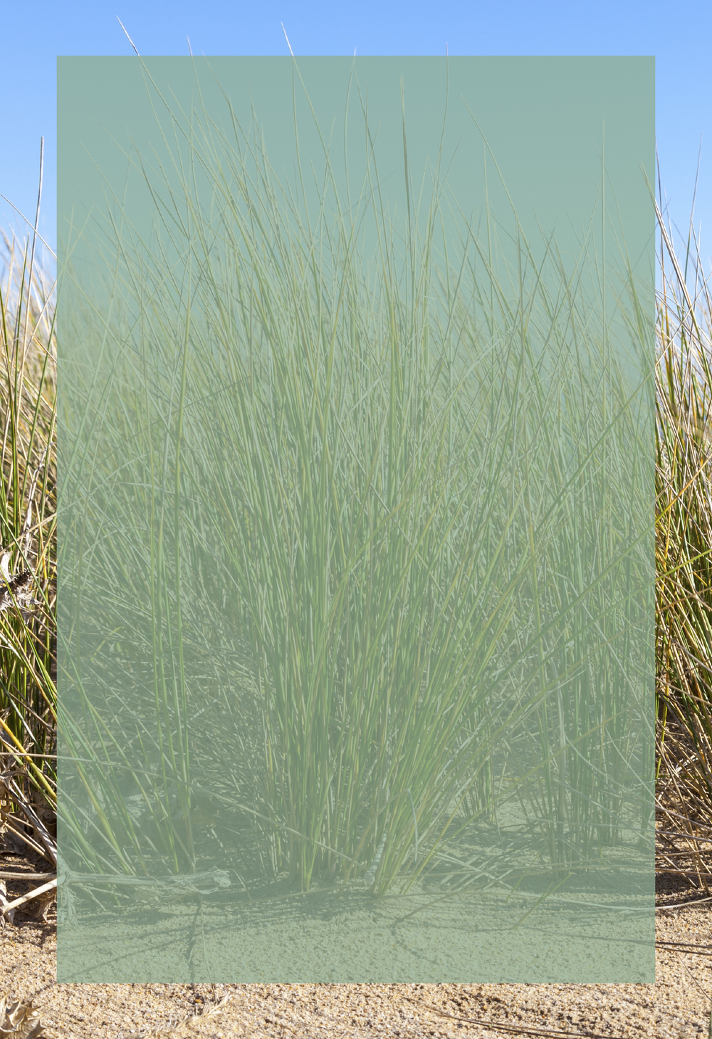 Dune_Grass_B_800w.jpg