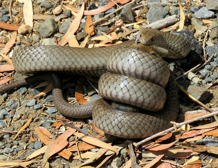 Eastern Brown Snake eating a rat.