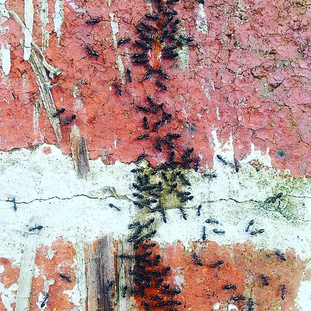 Black ants lapping up our sugary bait