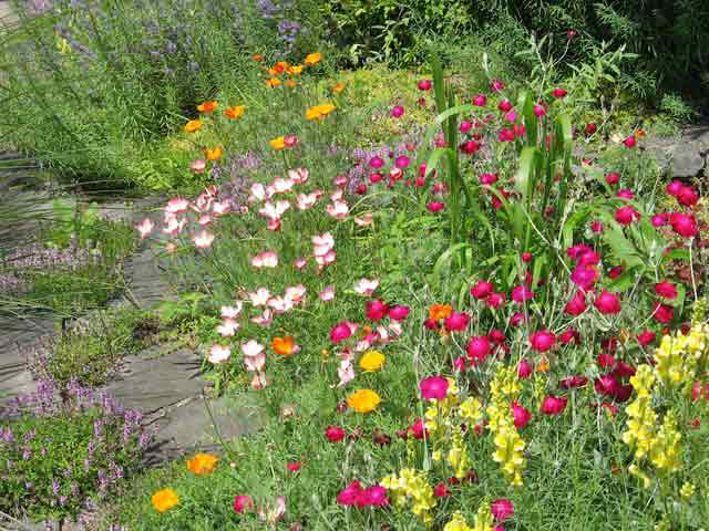 Lavender California Poppies, Wild Yellow Snap Dragons, and Magenta Lychnis