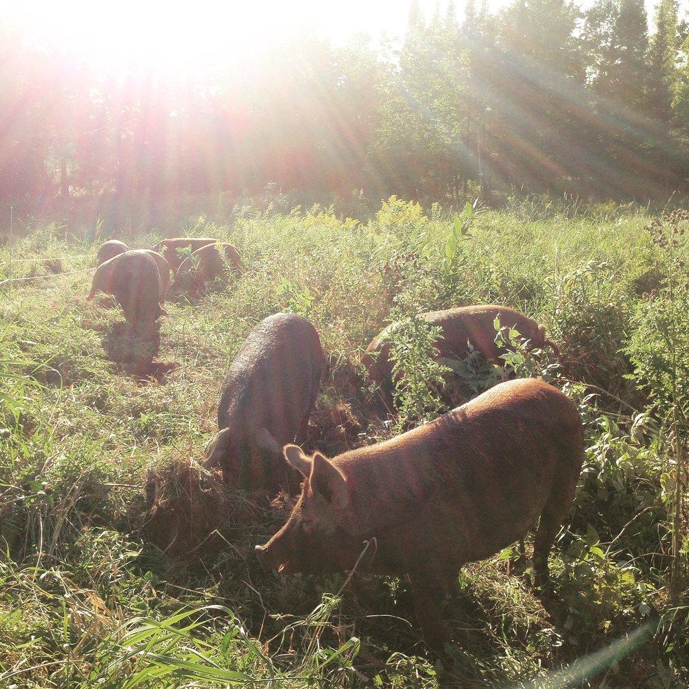 pigs - backlit.JPG
