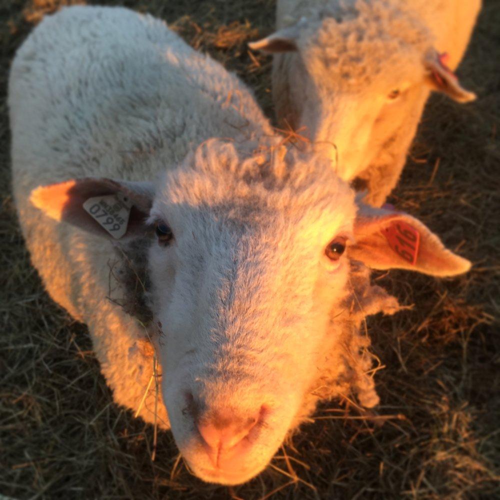 sheep - neverlonely.JPG