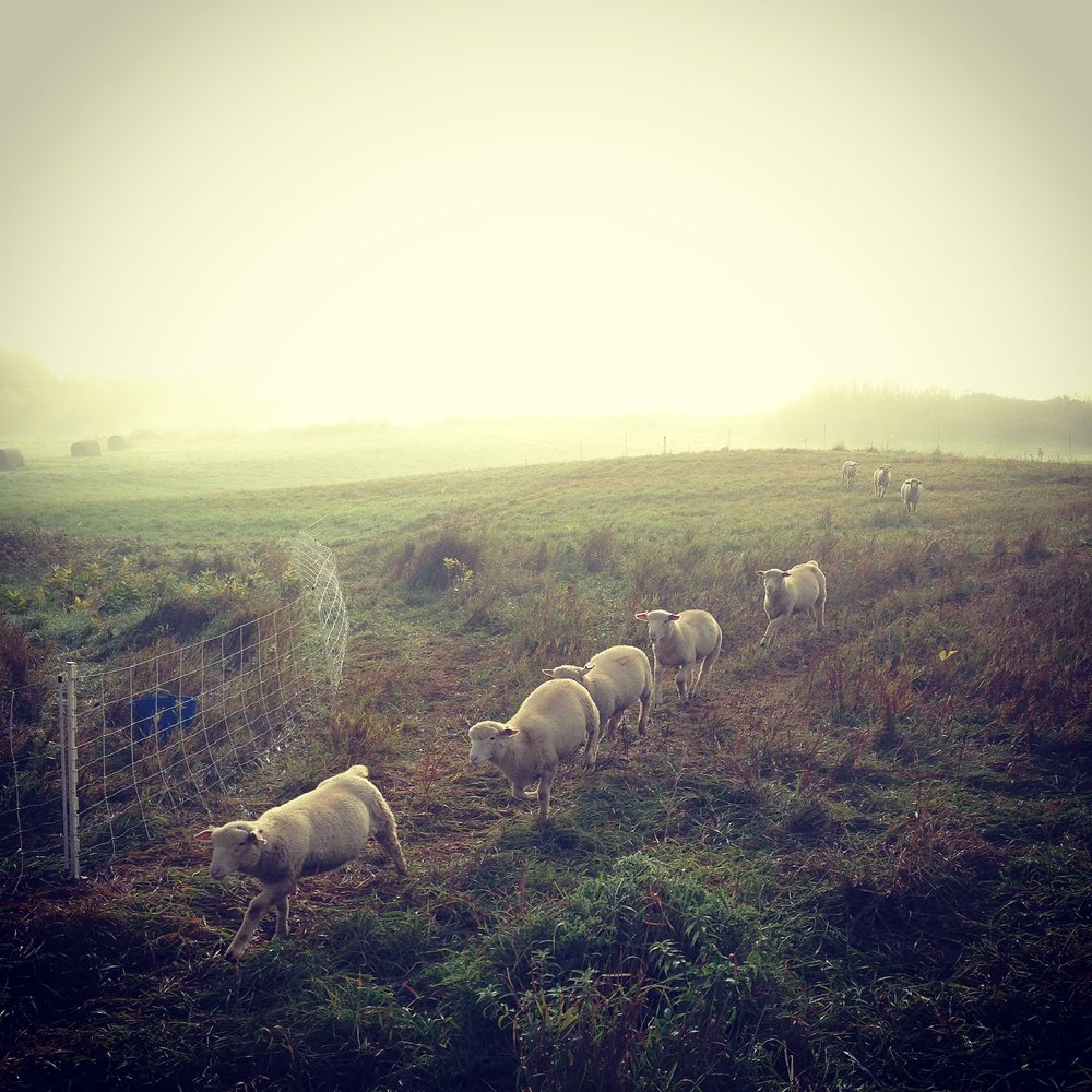 sheep - infog.JPG