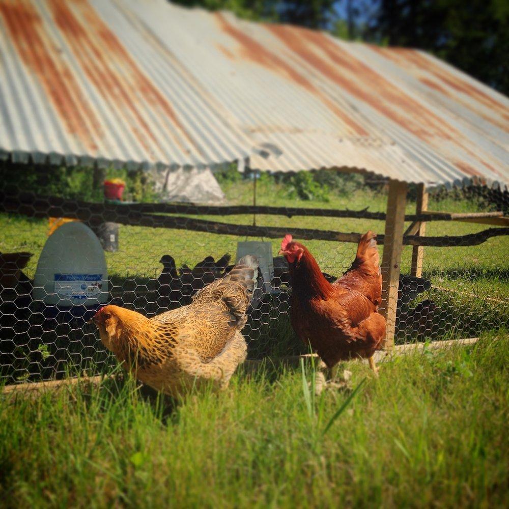 chickens - bobbi and robert.JPG