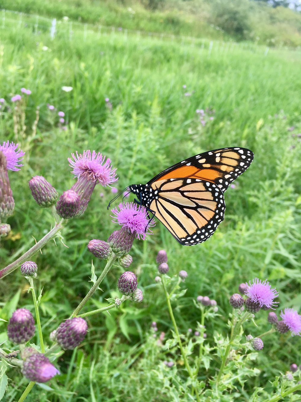 monarch feeding on some native thistle
