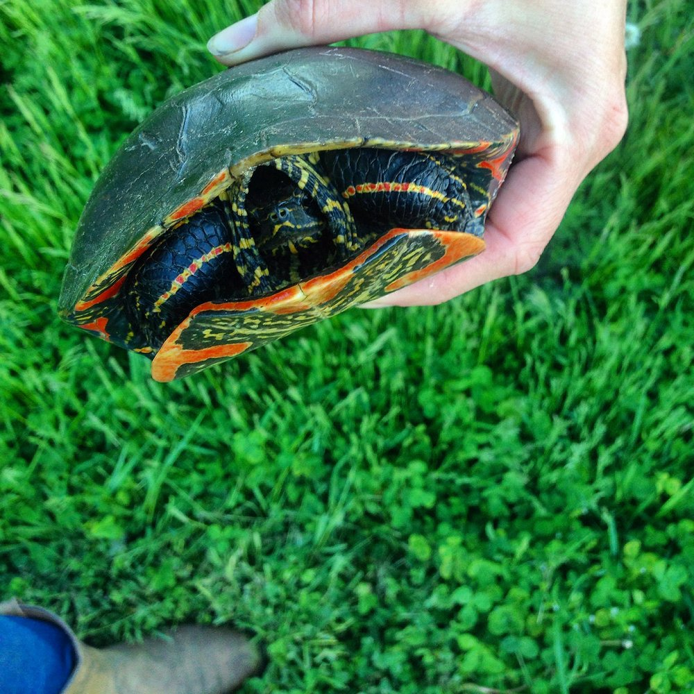 painted turtle on the edge of a marsh