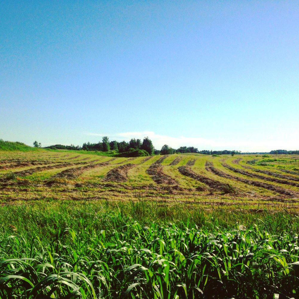 former hay field is now being grazed