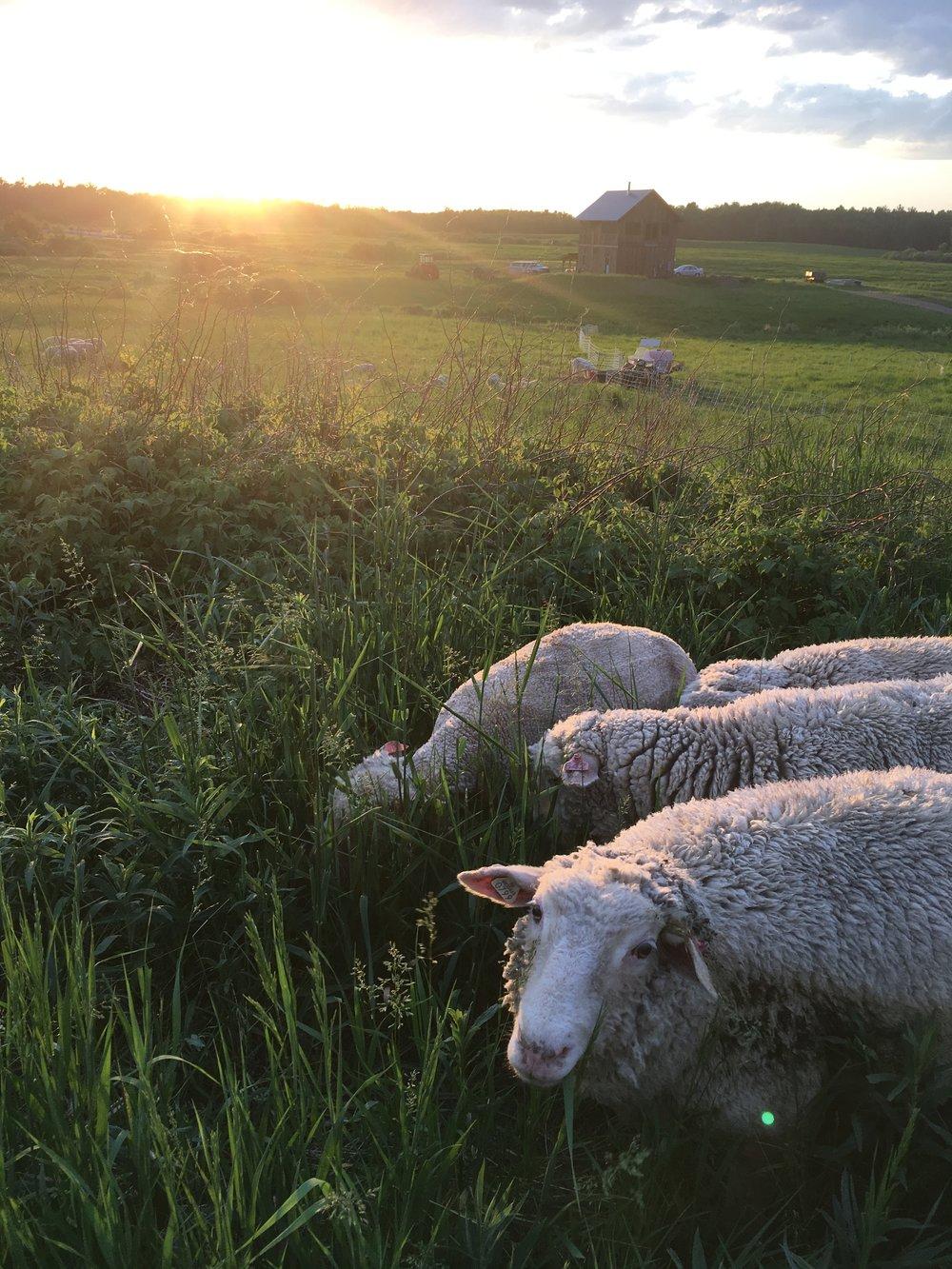market lambs enjoying thick grasses