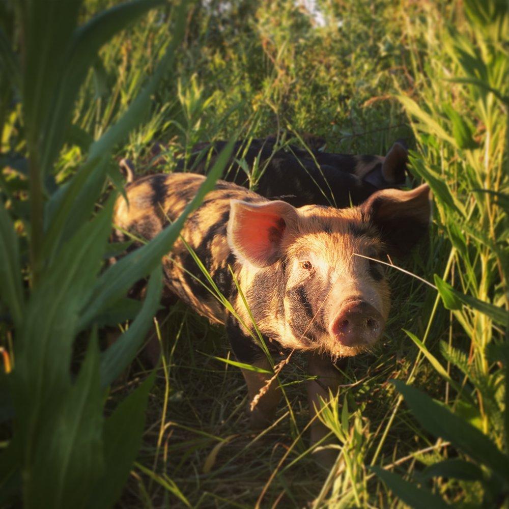 pigs - golden hour piglet.JPG