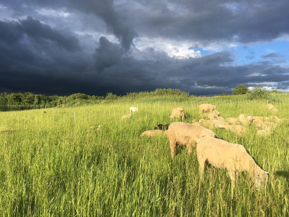 pasture - gold hour sheep.JPG