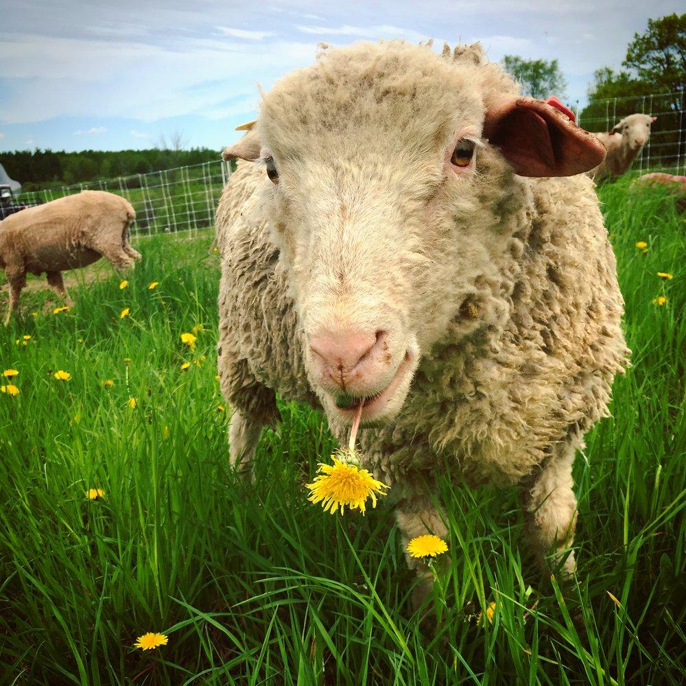 sheep - thomas.JPG