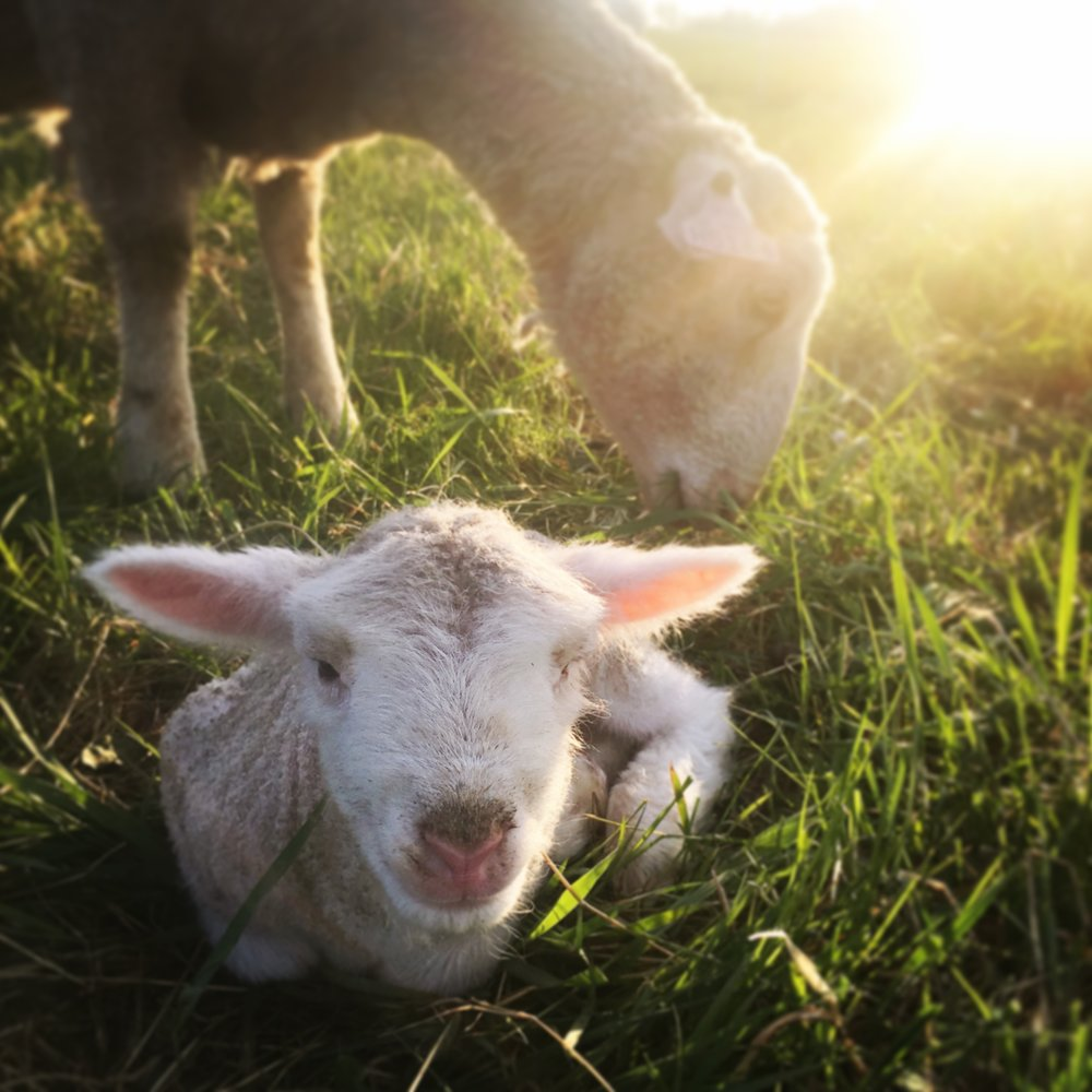 sheep - new born lamb.JPG
