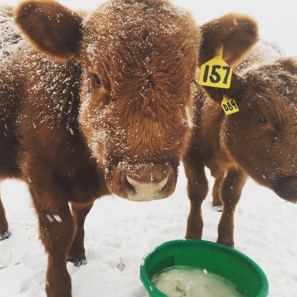 cows - winter water.JPG