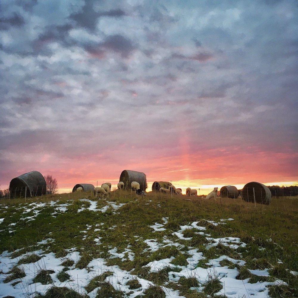 sheep - bale grazing.JPG