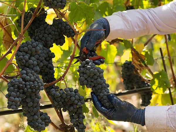OT-Wine-Yard_22.September.2015__199.jpg