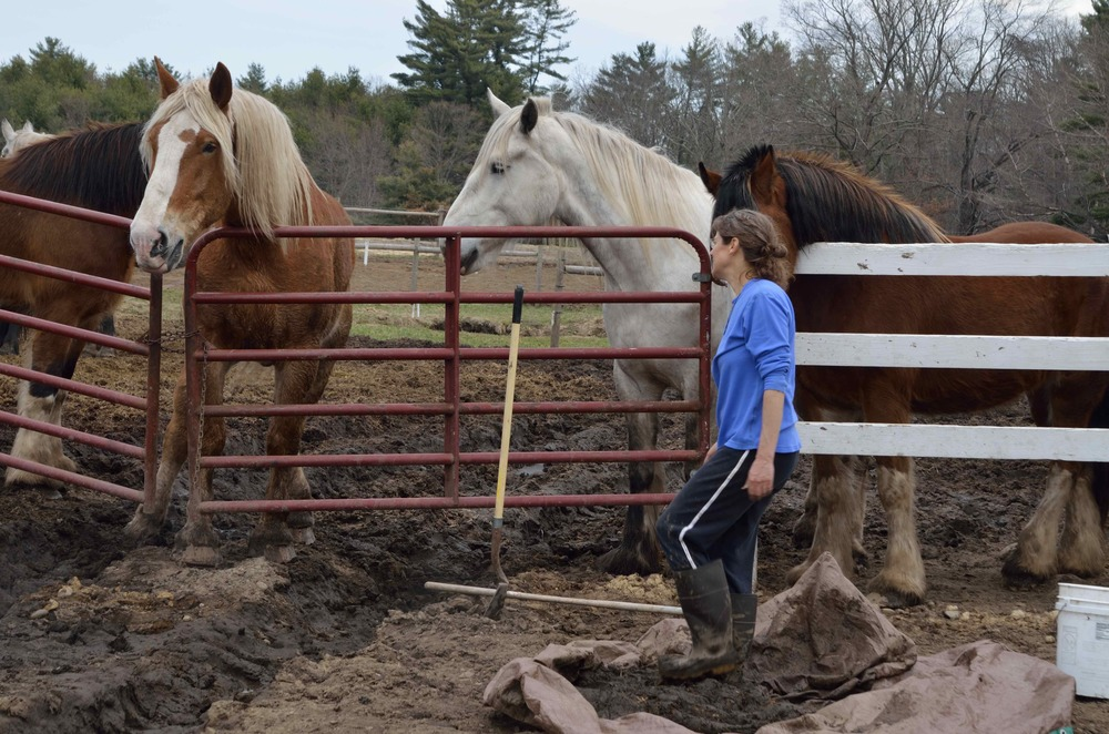 Building cob in the pasture, using earth, sand, manure, horse hair with the big hearted work horses of  Blue Star Equiculture